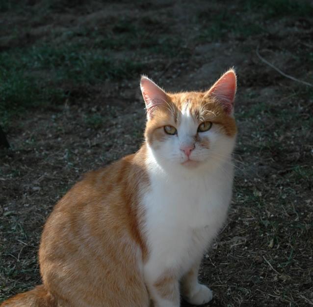 Miel chat cipam