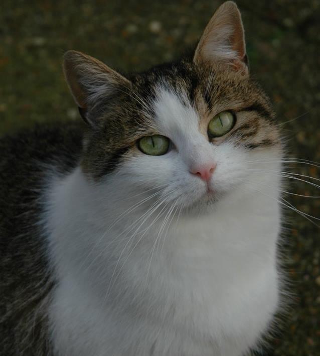 giroflée chat cipam
